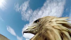 Охота на лисиц глазами орла