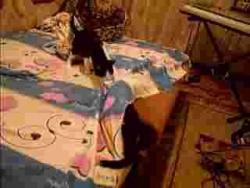 Драка кошек