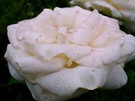 Роза в веснушках
