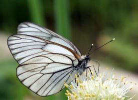 Бабочка-красавица, кушайте варенье...