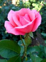 Городкая роза
