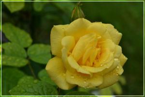 Желтая роза .