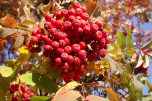 гроздь рябины