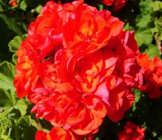 Цветок в Тунисе