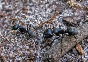 Осторожно! Черные муравьи!!