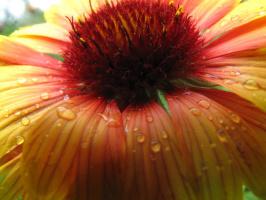 Гайлардия после дождя