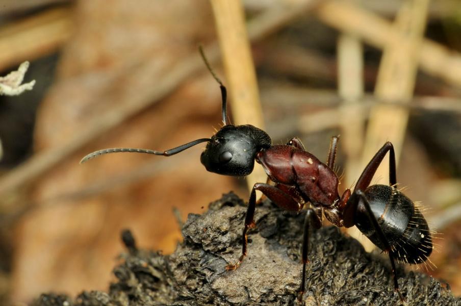 муравьишка